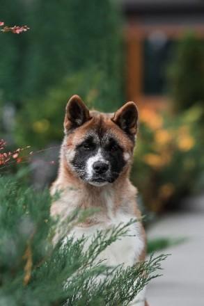 Акита Американская щенок. Киев. фото 1