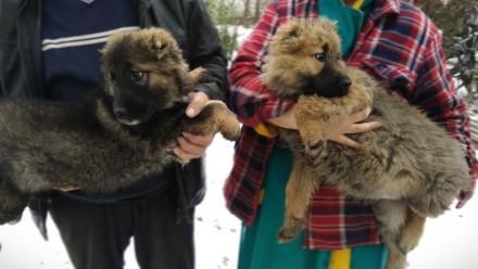Продаю цуценят кавказької вівчарки. Кагарлык. фото 1