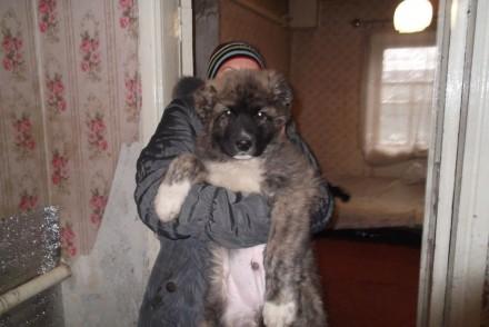 Щенки кавказской овчарки. Запорожье. фото 1