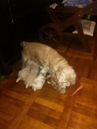 Продам щенков Американского кокер спаниеля. Мариуполь. фото 1