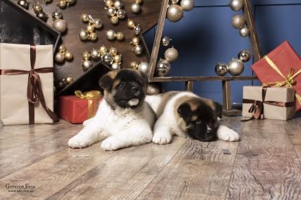 Американская акита -верный выбор! Предлагаются к продаже двухмесячные щенки от . Винница, Винницкая область. фото 6