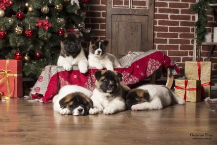 Американская акита -верный выбор! Предлагаются к продаже двухмесячные щенки от . Винница, Винницкая область. фото 2