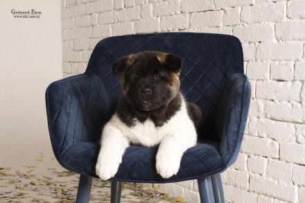 Американская акита -верный выбор! Предлагаются к продаже двухмесячные щенки от . Винница, Винницкая область. фото 3