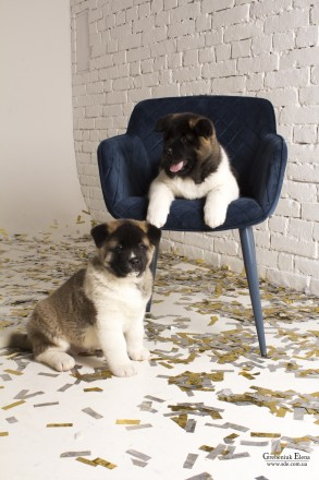 Американская акита -верный выбор! Предлагаются к продаже двухмесячные щенки от . Винница, Винницкая область. фото 5