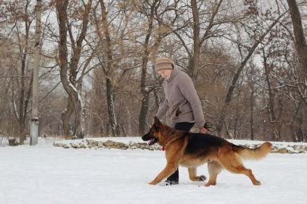 Немецкая овчарка. Северодонецк. фото 1