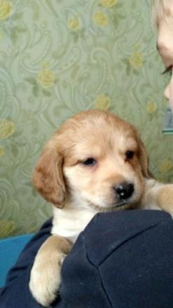 Отдаю щенят кокер-спаниеля в хорошие руки.. Киев. фото 1