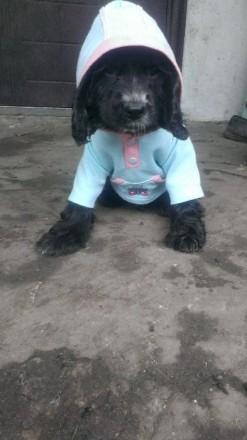 Продам щенков кокер - спаниель.. Волноваха. фото 1