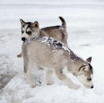 Продам чистокровні щенята сибірської хаскі.. Долина. фото 1