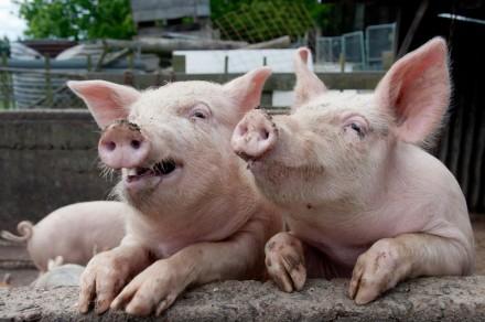 БМВД 25% для свиней  відгодівлі Старт. Киев. фото 1