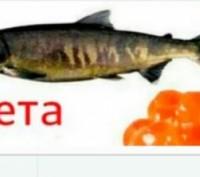Свежая икра.Икра лососевых и осетровых видов рыбы,выраженной в искусственных вод. Киев, Киевская область. фото 6