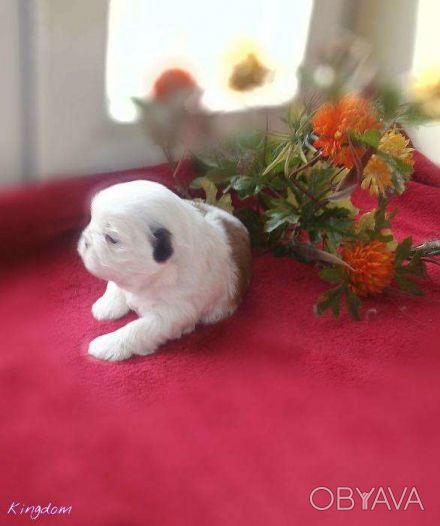 Питомник предлагает для резерва алиментную девочку ши-тцу, единственную в помете. Одесса, Одесская область. фото 1