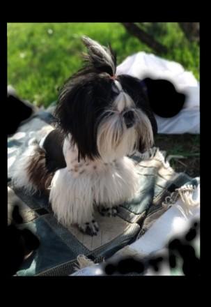 Предлагается к продаже породный щенок Ши-Тцу. Дата рождения 25.06.18. Мальчик бе. Мариуполь, Донецкая область. фото 6