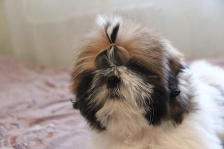 Предлагается к продаже породный щенок Ши-Тцу. Дата рождения 25.06.18. Мальчик бе. Мариуполь, Донецкая область. фото 3