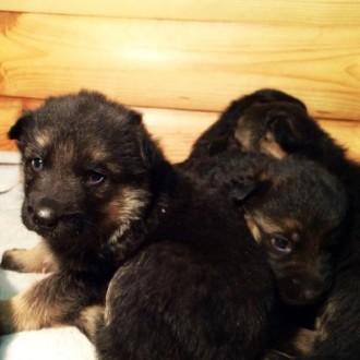 Продам щенков немецкой овчарки. 4 девочки, 3 мальчика. Родились 5.12.2018. Есть . Запорожье, Запорожская область. фото 3