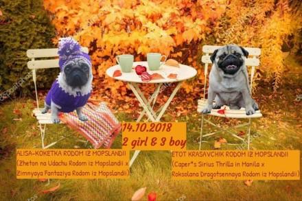 Продаются племенные щенки мопса 1 девочка и 1 мальчик от титулованных родителей.. Марганец, Днепропетровская область. фото 2