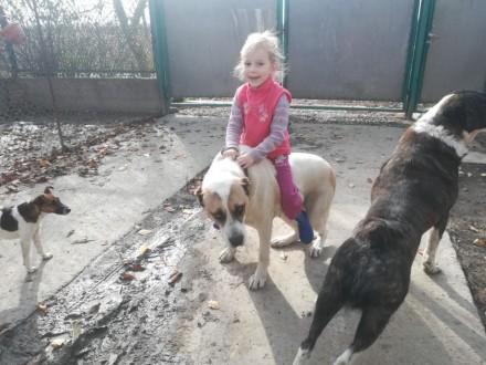 Продається алабай, 3 річна, спокійна характер, із у сіма прививками.1 раза мала . Киев, Киевская область. фото 3