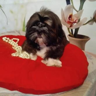 Шоколадный мальчик щенок ши тцу. Харьков. фото 1