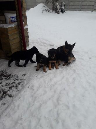 Собаки со всеми прививками чепрачного цвета ухожены паспорт. Винница, Винницкая область. фото 6