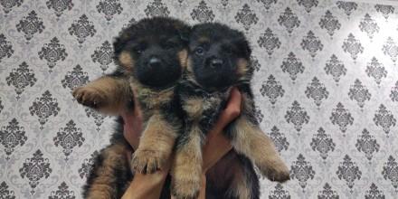 Питомник немецкой овчарки предлагает щенков,разного возраста,чепрачного окраса,к. Луцк, Волынская область. фото 7