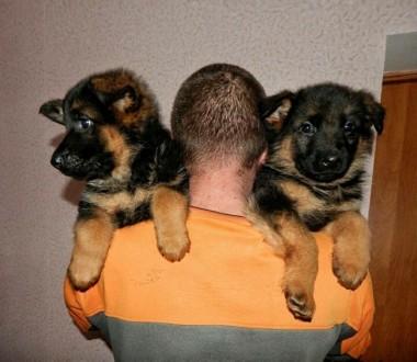 Для тех кто мечтал стать владельцем шикарного щенка .Высокопородные щенки немецк. Винница, Винницкая область. фото 4