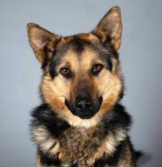 ГРАФ - овчар. Шикарная собака с идеальным характером. Киев. фото 1