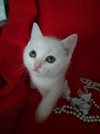 Шотландський білосніжний котик. Ставище. фото 1