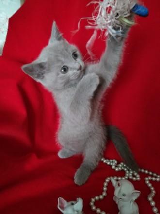 Шотландська лілова кішечка. Ставище. фото 1