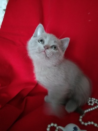 Шотландське кошеня шукає нову родину. Котеня проглистоване та привчене до кошачо. Ставище, Киевская область. фото 3