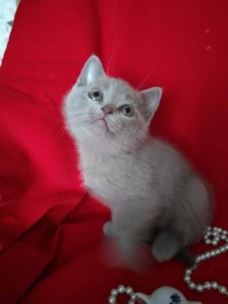 Шотландське кошеня шукає нову родину. Котеня проглистоване та привчене до кошачо. Ставище, Киевская область. фото 5
