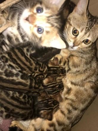 Прекрасные бенгальские котята 3 девочки и 2 мальчика ищут своих хозяев! Окрас кр. Светловодск, Кировоградская область. фото 4