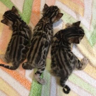 Прекрасные бенгальские котята 3 девочки и 2 мальчика ищут своих хозяев! Окрас кр. Светловодск, Кировоградская область. фото 6
