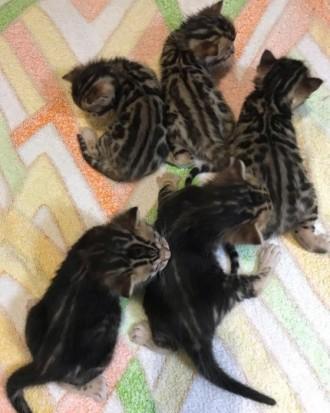 Прекрасные бенгальские котята 3 девочки и 2 мальчика ищут своих хозяев! Окрас кр. Светловодск, Кировоградская область. фото 5