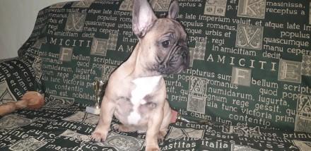 Французский бульдог щенки. Днепр. фото 1