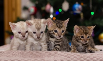 Бенгальські клубні кошенята. Винница. фото 1