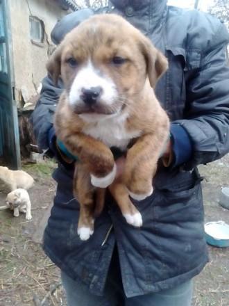 Продаются щенки, Американский стаффордширский терьер. Першотравенск. фото 1