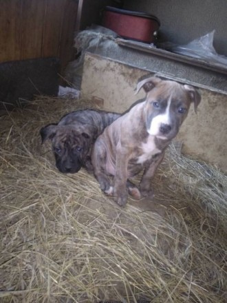 К продаже предлагаются щенки Американского стаффодширского терьера, замечательны. Одесса, Одесская область. фото 4