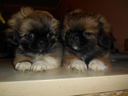 Продам красивых щенков пекинеса. Сумы. фото 1