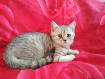 Золотой ребенок - ласковый котёнок (шотландский мальчик). Киев. фото 1