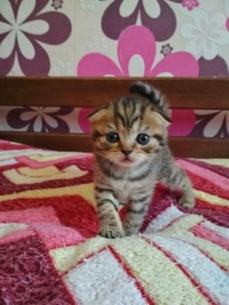 Клубные котята. Винница. фото 1