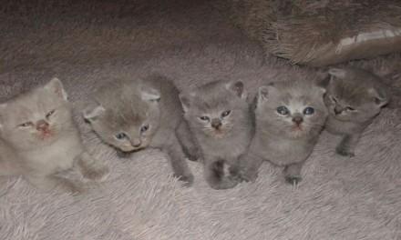Котенята вісловухі і прямовухі. Винница. фото 1