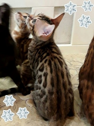 Бенгальский котенок. Винница. фото 1