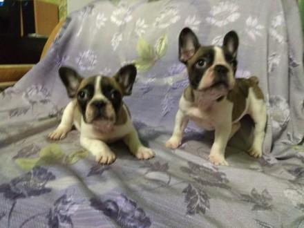 Продам щенков Французского бульдога. Никополь. фото 1