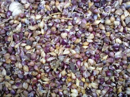 Семена чеснока (воздушка) , Однозубка чеснока , Зубок чеснока  , Чеснок в голов. Тальное. фото 1
