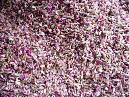 Продам CЕМЕНА - ВОЗДУШКА озимого чеснока от 1 кг.. Тальное. фото 1