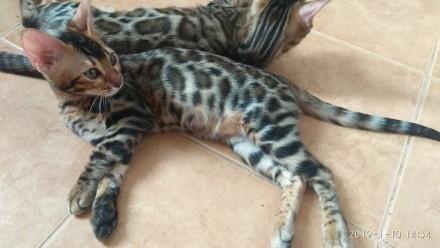 Бенгальские котята. Винница. фото 1