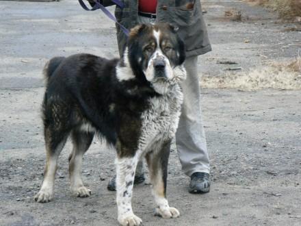 аренда собак на охрану объектов. Бородянка. фото 1