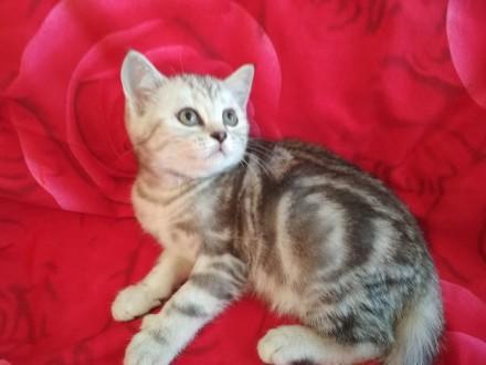 Шотландские супер котята для души и уюта. Киев. фото 1
