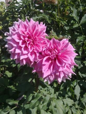продам цветы для сада. Чернигов. фото 1