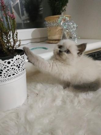 Шотландский котенок. Винница. фото 1