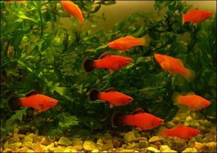 Продам аквариумных рыб недорого. Винница. фото 1